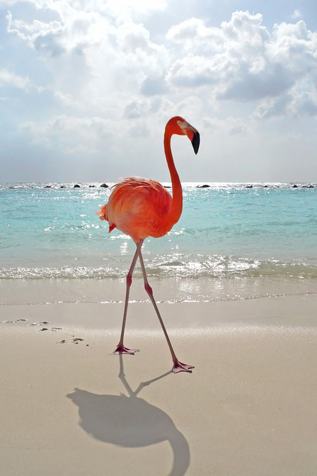 Pink Flamingo on the beach in Aruba.