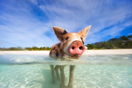 Bahamas piglet swimming pigs in the sea