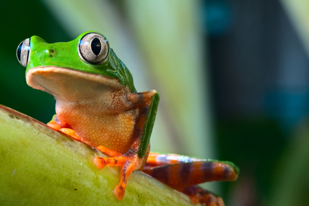 The Amazon is home to over 700 amphibians