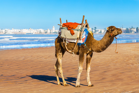 Camel on the beach in Morocco. Location Essaouira on the Atlantic coast, pictured in the background.