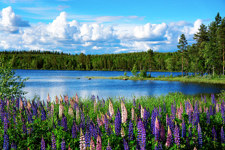 SWEDEN-Beautiful Scandinavian summer landscape with lupines and lake