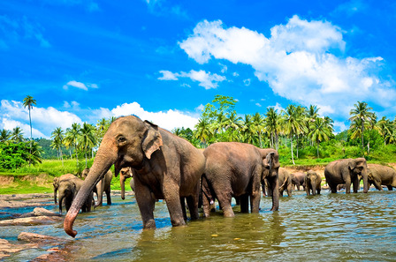 Elephant group in the river Sri Lanka