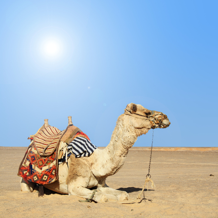 camel in the sahara tunis winter
